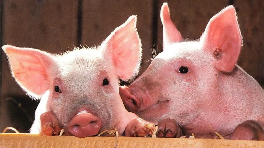 Porcii se vor sacrifica doar în prezența veterinarului