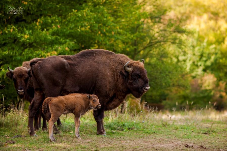 Premieră națională! După 200 de ani, Munții Făgăraș vor fi repopulați cu zimbri