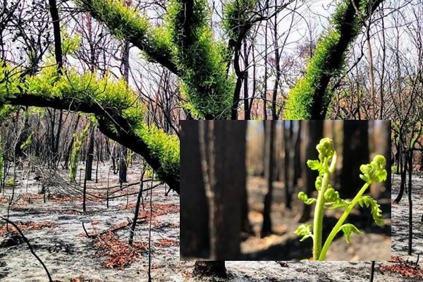 Viața renaște din cenușă în zonele arse recent în Australia