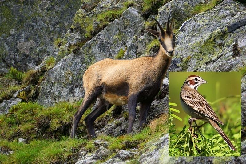 Ciocârlia și capra neagră vor fi protejate. Vânătoarea celor două specii va fi interzisă