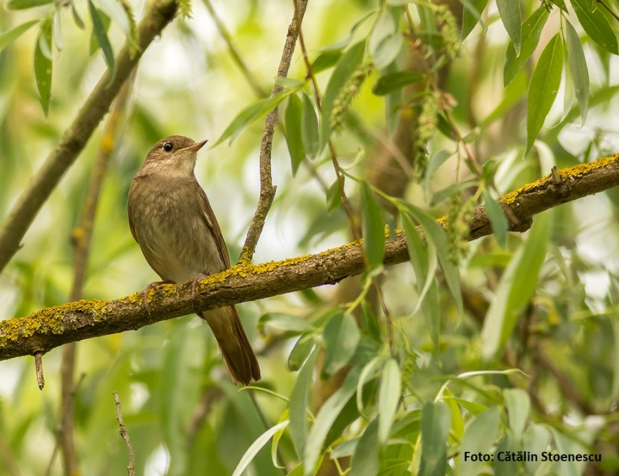 Păsările lunii mai: Privighetorile. Sursă de inspirație pentru poeți, scriitori și compozitori