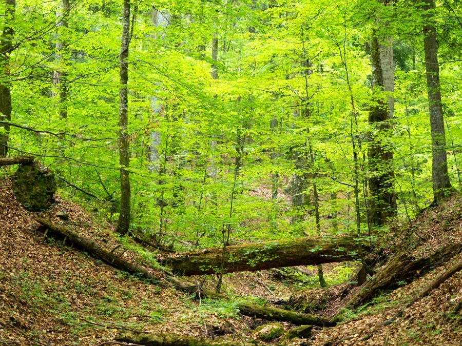 Suprafaţa pădurilor virgine din România creşte cu 40.000 de hectare