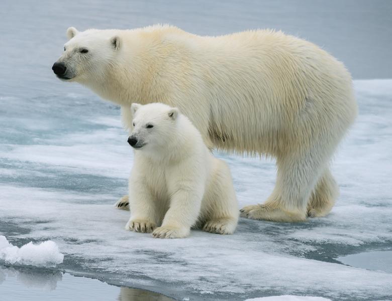 Scenariu sumbru. Aproape toți urșii polari vor muri în următorii 80 de ani, din cauza încălzirii globale