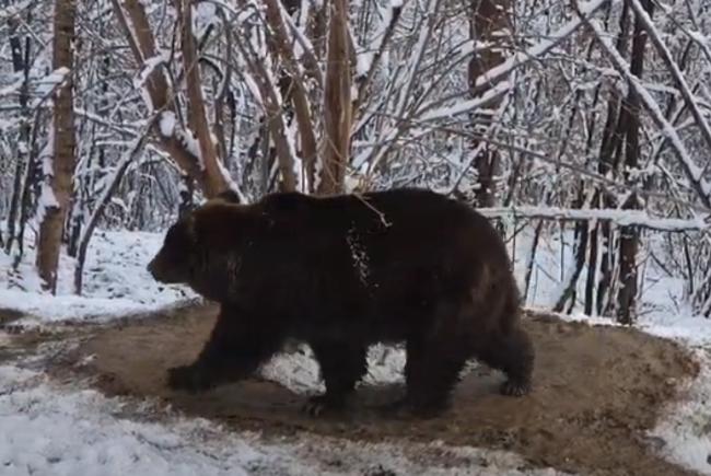 Imaginea traumei care nu se vindecă: După 20 de ani în captivitate, o ursoaică nu știe să se bucure de libertate