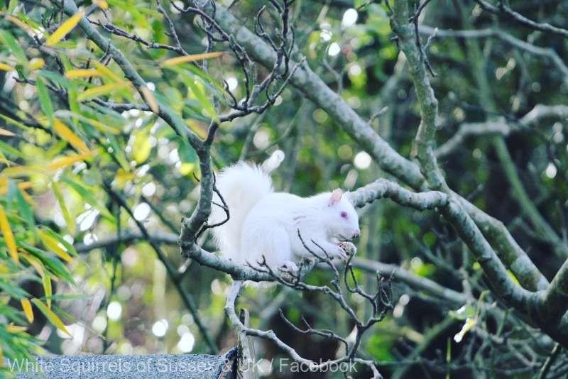 O veveriţă albă, o raritate în lumea animalelor, observată într-un parc din Anglia