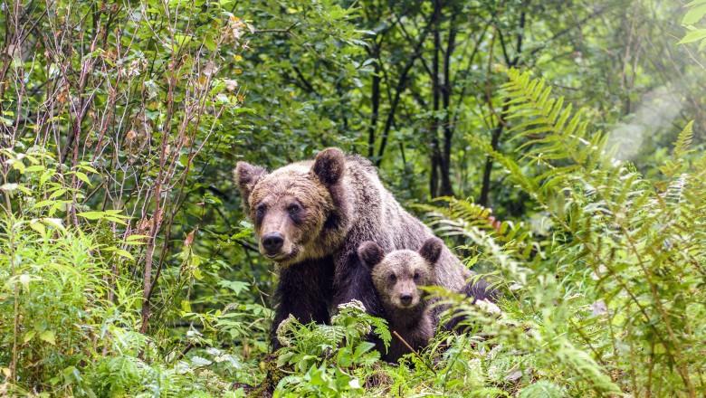 Ordinul care permitea uciderea urșilor, anulat de Instanță