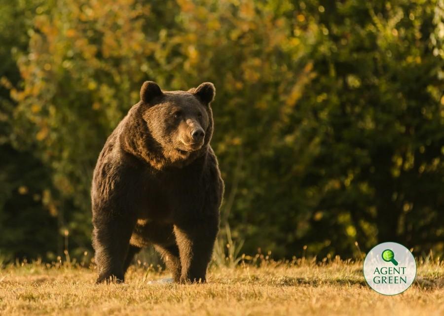 Agent Green: Cel mai mare urs din România, Arthur, a fost ucis de un prinț din Austria. Spune STOP vânătorii de trofee!