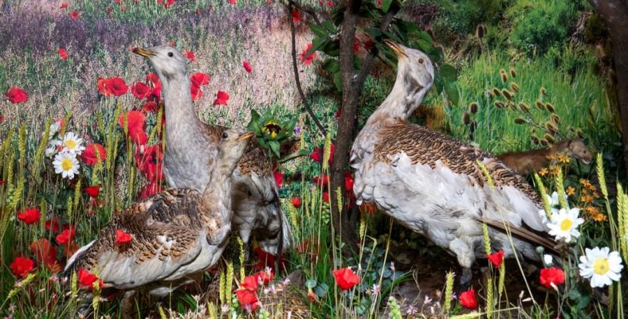 Exponatul acestei luni la Complexul Muzeal Arad este pasărea de stepă Dropia